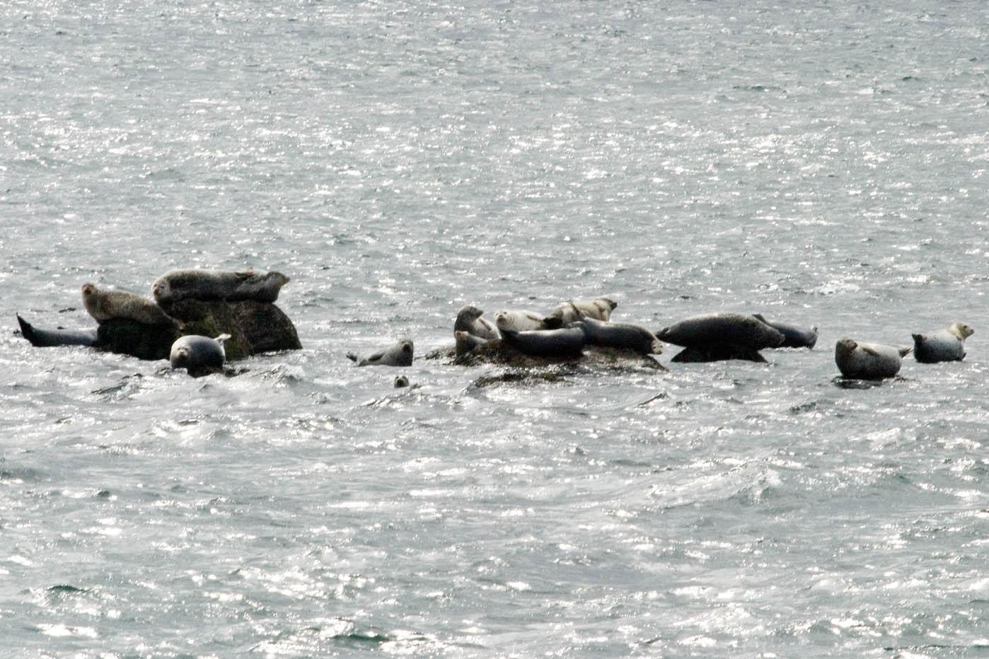 Harp seals around rocks in the sea