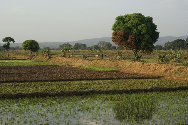 Les rizière de Banfora