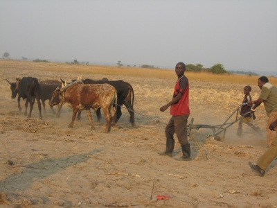 Oxen ploughing rice field in Limulunga (identified by the community as an adaptation option). Photo M. Monde