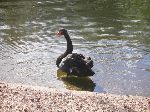 50f45a94a099dthe-black-swan 0 - climate adaptation.
