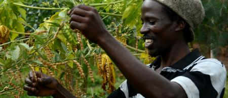 Harvesting season in Nyando climate-smart villages
