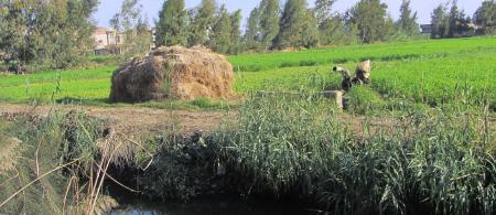 Secondary feeder canal with irrigated berseem field in the Nile Delta