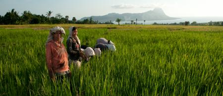 Women weeding the rice fields