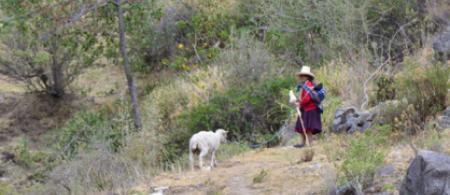Shepherd in Peru