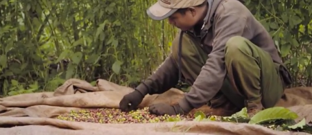 Farmer sorting coffee pods