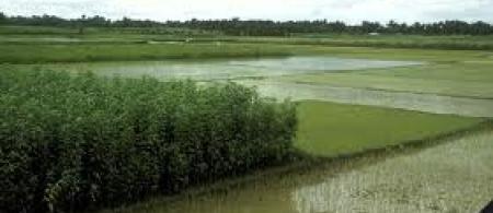 4f367d40d5e11rice-bangladesh - climate adaptation.