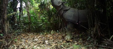 4f43a0ceec765javan-rhino-camera-trap-clearing-32632-600x450 - climate adaptation.