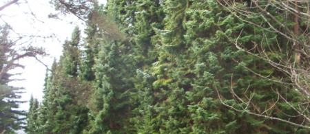 5367ebdebac95serbian-spruce-100-3174 - climate adaptation.