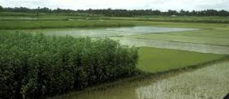 rice bangladesh - climate adaptation.