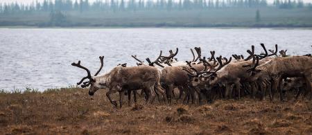 Yamal Reindeers