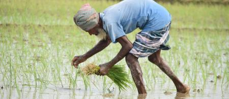 Man in blue t-shirt planting rice