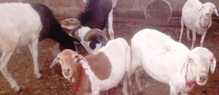 djallonke sheep in a gambian village 0 - climate adaptation.