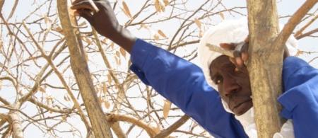 Harvest of white gum arabic (Acacia senegal)