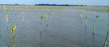Planted mangroves in the Tam Giang Lagoon