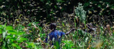 locust invasion in mwingi cred: greenpeace paul basweti