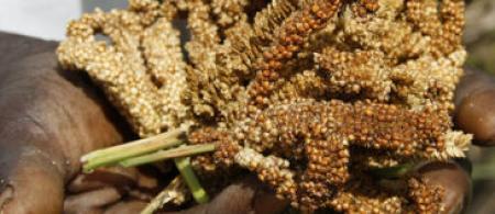 Millet crop - credit DFID