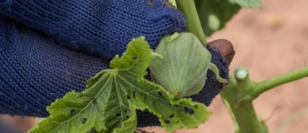 Hands in blue gloves touching an okra plant