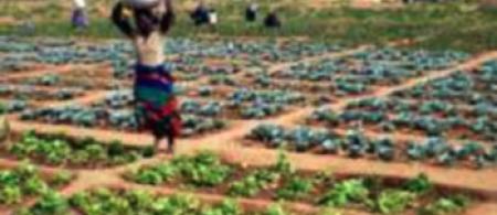Urban agricultural plot in Bulwayo, Zimbabwe