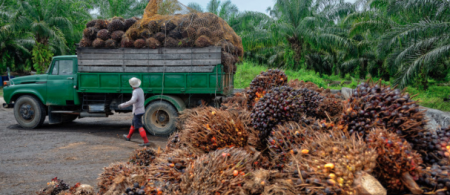 Uploading freshly harvested oil palm fruit bunches. Photo: migin / Getty.