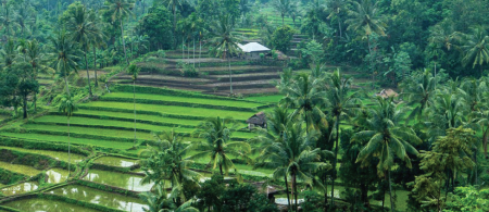 Rice paddy, Indonesia