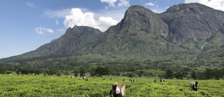Women pick tea leaves in Malawi in 2016