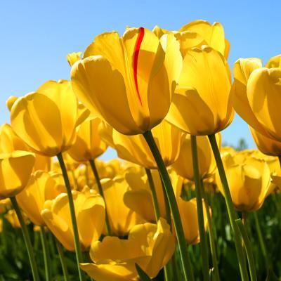 tulips - climate adaptation.