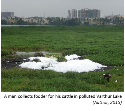 A man collects fodder for his cattle in polluted Varthur Lake: (Author 2015)