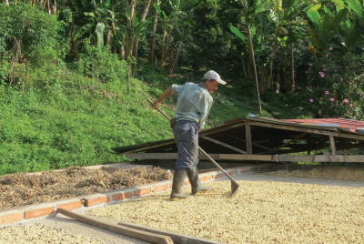 A coffee farmer near La Celia, in Colombia's Eje Cafetero, rakes coffee beans laid out to dry. © Aaron Atteridge