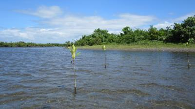 planted mangroves for risk reduction in front of a natural mangrove forest in the philippines 9 - climate adaptation.
