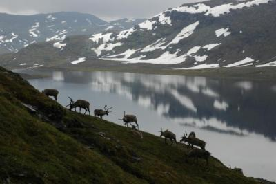 Reindeer by Ulf Molau