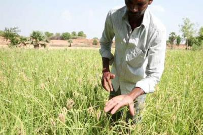 A farmer in a field show in the palm of his hands small millet grains