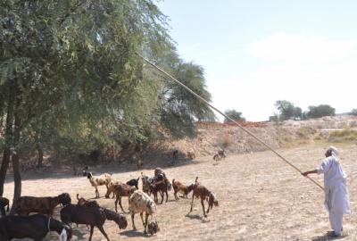 goat herder pakistan 2