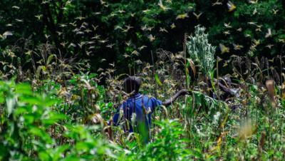 locust invasion in mwingi cred:greenpeace paul basweti
