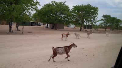 Goats in Onesi