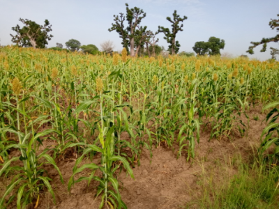 Climate change and impact on agriculture in the Sahel