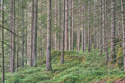 Swedish forest image