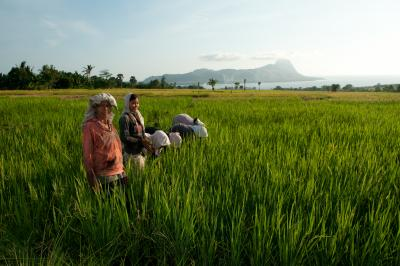 Women weeding the rice fields