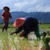 Lao paddy field