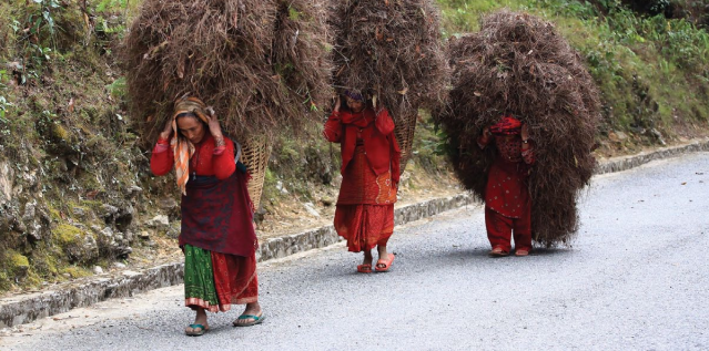 Women in Nepal carrying paddy rice stalks