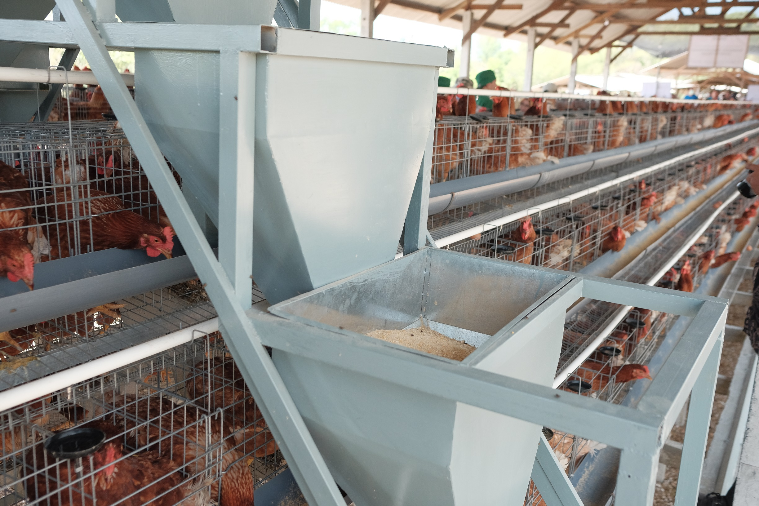 A new feeding tool used in the new climate smart chicken shed. Photo: Nyoman Prayoga/USAID APIK