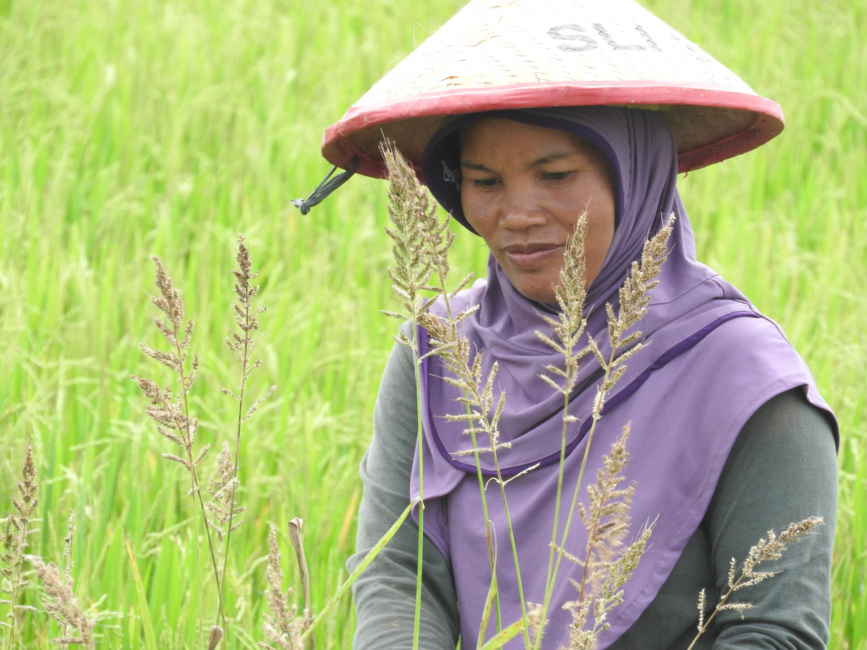 Ramlah is cleaning weeds from the rice fields at the Climate Field School demonstration plot. Photo by Megawati for USAID APIK.